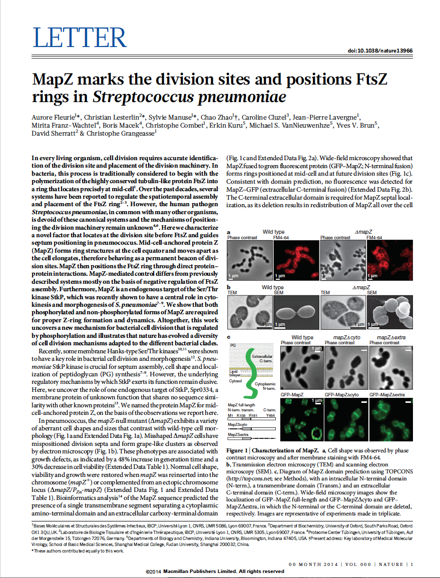 MapZ beacons the division sites and positions FtsZ-rings in Streptococcus pneumoniae