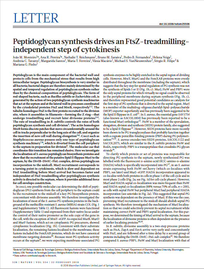 Peptidoglycan synthesis drives cytokinesis independent of FtsZ treadmilling